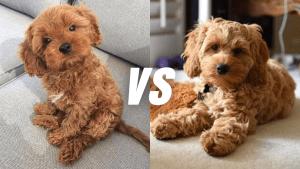 Cavapoo Vs Cockapoo | Popular Poodle Mixes Compared