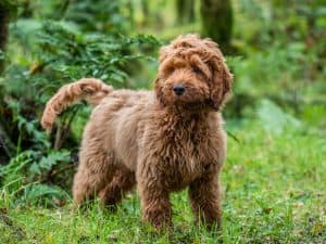 Cockapoo Dog Breed Information | Dogs 101 Cockapoo