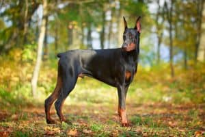 Doberman Pinscher Dog Breed Information | Dogs 101 Doberman Pinscher