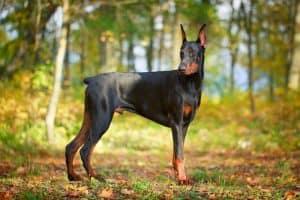 Doberman Pinscher Dog Breed Information | Dogs 101 Doberman Pinscher
