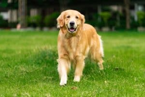 Golden Retriever Dog Breed Information | Dogs 101 Golden Retriever