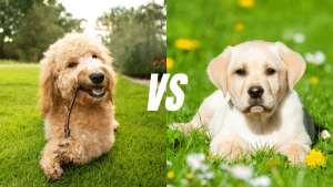 Goldendoodle VS Labrador Retriever | Which Is More Intelligent?