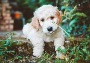 What To Know About Goldendoodle Puppies