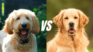 Goldendoodle Vs Golden Retriever I Which Dog Is Better for You?