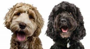 Labradoodle Vs Cockapoo | Popular Poodle Mixes Compared