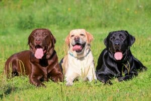Labrador Retriever Dog Breed Information | Dogs 101 Labrador Retriever