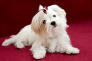 Maltese Dog Breed Information | Dogs 101 Maltese
