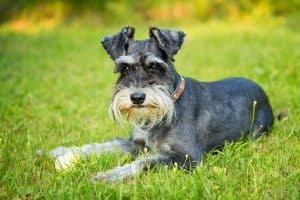 10 Miniature Schnauzer Facts | Facts About The Miniature Schnauzer