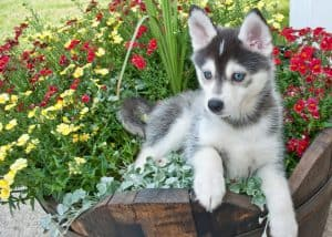 Pomsky Dog Breed Information | Dogs 101 Pomsky