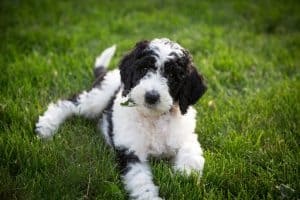 Sheepadoodle Dog Breed Information | Dogs 101 Sheepadoodle