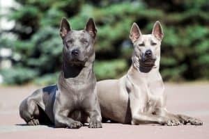 Thai Ridgeback Dog Breed Information | Dogs 101 Thai Ridgeback