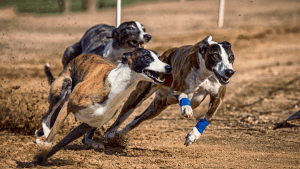 10 Fastest Dog Breeds On This Planet